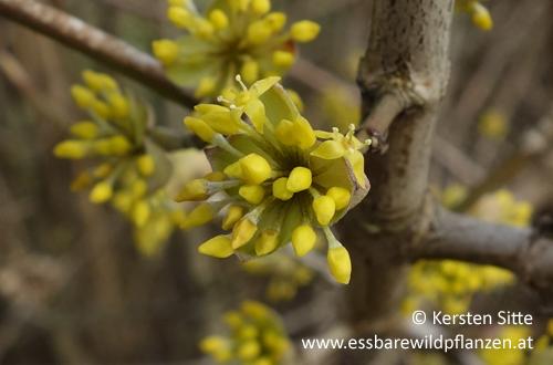 Dirndlblüte_3 500px © Kersten Sitte, www.essbarewildpflanzen.at