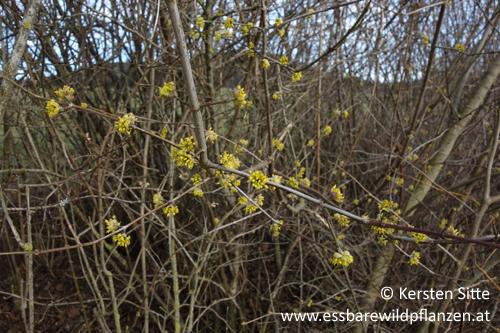 Dirndlblüten_1 500px © Kersten Sitte, www.essbarewildpflanzen.at