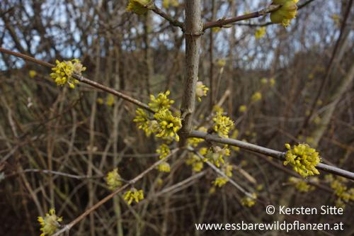 Dirndlblüten_2 500px © Kersten Sitte, www.essbarewildpflanzen.at