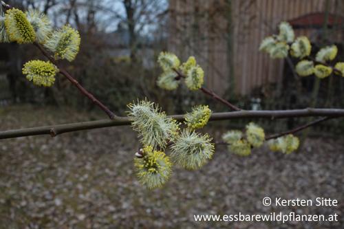 blühende Weide-1-500px © Kersten Sitte, www.essbarewildpflanzen.at