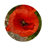 Klatschmohn-Blütenfarbe-Kreis 150 x 150 px © Kersten Sitte, www.essbarewildpflanzen.at