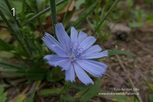 Wegwartenblüte © Kersten Sitte, www.essbarewildpflanzen.at