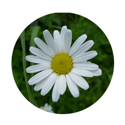 Waldsauerklee-Pflanzenfamilien-Kreis 150 x 150 px © Kersten Sitte, www.essbarewildpflanzen.at