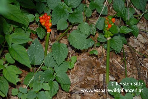aronstab rote früchte © Kersten Sitte, www.essbarewildpflanzen.at