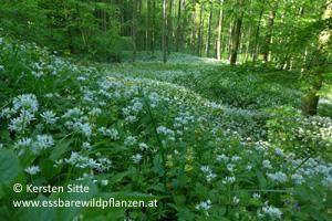 bärlauch gruppe 1 © Kersten Sitte, www.essbarewildpflanzen.at