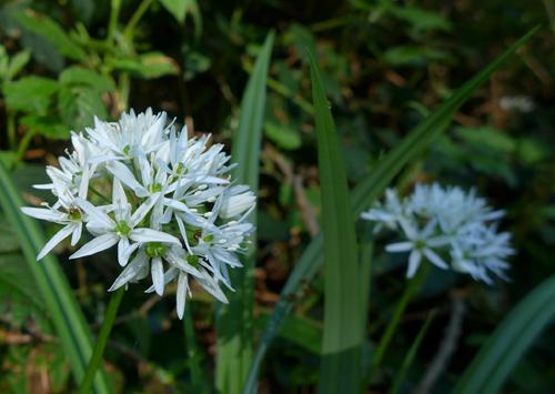 Bärlauchblüte © Kersten Sitte, www.essbarewildpflanzen.at