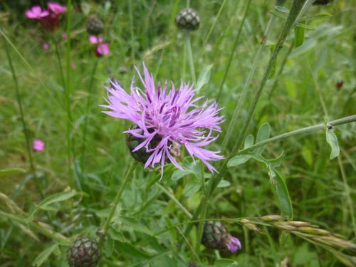 Bergflockenblume Blüte © Kersten Sitte, www.essbarewildpflanzen.at