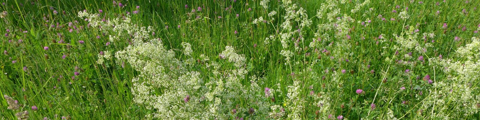 Blog/Aktuelles Headerbild © Kersten Sitte, www.essbarewildpflanzen.at