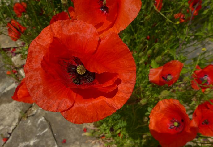 Blüten Rot © Kersten Sitte, www.essbarewildpflanzen.at