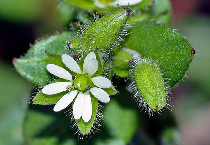 Blüten Weiß Vogelmiere-Chickweed (aka) Wikipedia, www.essbarewildpflanzen.at