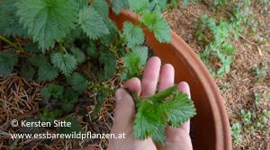 brennnessel ernte per hand 2 © Kersten Sitte, www.essbarewildpflanzen.at