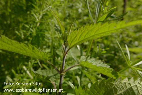 Brennnessel kreuzgegenständig b=500px © Kersten Sitte, www.essbarewildpflanzen.at
