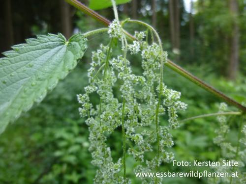 Brennnessel weibliches Blütenfoto 500px © Kersten Sitte, www.essbarewildpflanzen.at