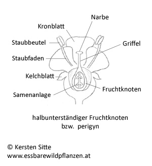fruchtknoten halbunterständig © Kersten Sitte, www.essbarewildpflanzen.at