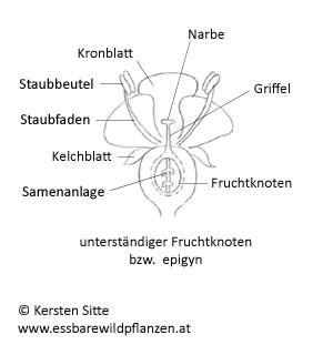 fruchtknoten unterständig © Kersten Sitte, www.essbarewildpflanzen.at