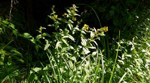 gewöhnlicher gilbweiderich namen © Kersten Sitte, www.essbarewildpflanzen.at