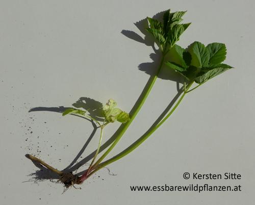 Giersch © Kersten Sitte, www.essbarewildpflanzen.at