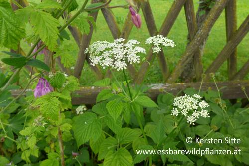 giersch blüte 1 © Kersten Sitte, www.essbarewildpflanzen.at