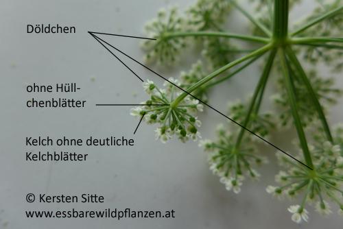 giersch blüte 5 © Kersten Sitte, www.essbarewildpflanzen.at