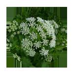 Giersch-Blütenfarbe-Kreis 150 x 150 px © Kersten Sitte, www.essbarewildpflanzen.at
