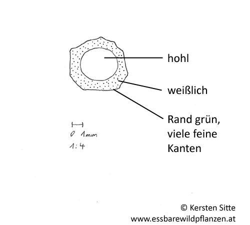 Giersch Blütenstiel Querschnitt © Kersten Sitte, www.essbarewildpflanzen.at