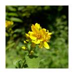 Gewöhnlicher-Gilbweiderich-Blütenfarbe-Kreis 150 x 150 px © Kersten Sitte, www.essbarewildpflanzen.at