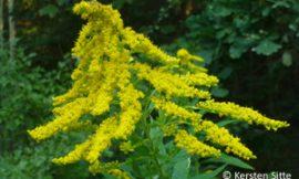 Essbare Wildpflanzen Bestimmungen 24.+25.9.2016, Mauerbach