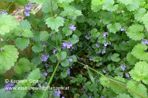 gundermann blüte 1 © Kersten Sitte, www.essbarewildpflanzen.at