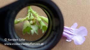 gundermann frucht © Kersten Sitte, www.essbarewildpflanzen.at