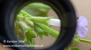 gundermann kelch © Kersten Sitte, www.essbarewildpflanzen.at