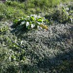 Essbare Wildpflanzen in meinem Garten – 2