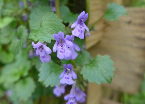 Gundermann-Wildpflanzen A-Z © Kersten Sitte, www.essbarewildpflanzen.at