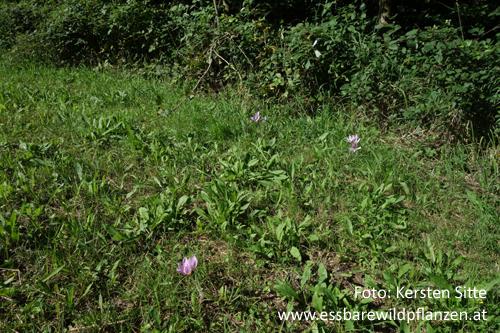 Herbstzeitlose Blüten 1 500px © Kersten Sitte, www.essbarewildpflanzen.at