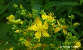 Essbarer Wildpflanzenspaziergang 2. Juli 2016, Wien