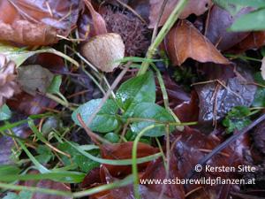 kleine Braunelle november 2016 © Kersten Sitte, www.essbarewildpflanzen.at