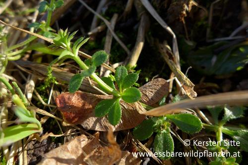 Klettenlabkraut 2 © Kersten Sitte, www.essbarewildpflanzen.at