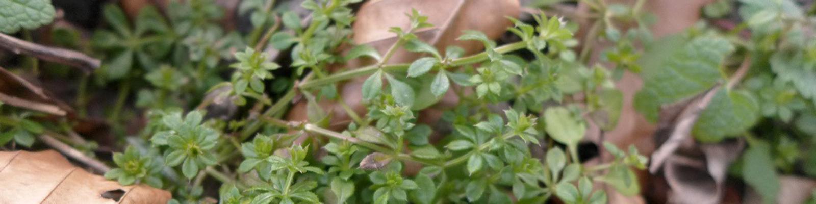Klettenlabkraut Header © Kersten Sitte, www.essbarewildpflanzen.at