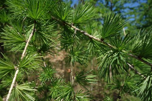 Lärche Beitragsbild 1 © Kersten Sitte, www.essbarewildpflanzen.at