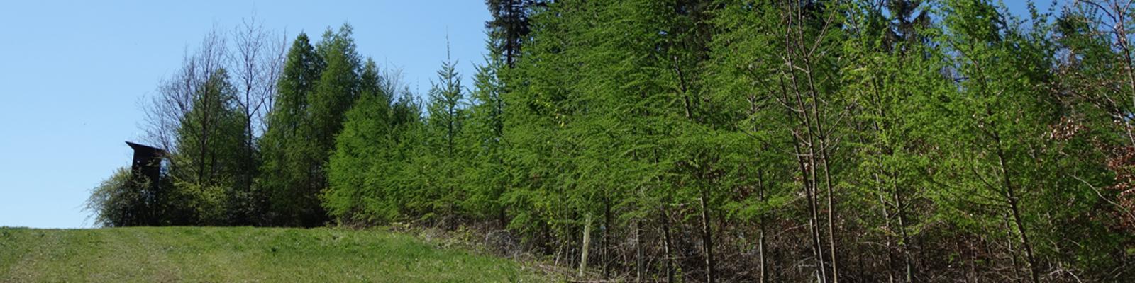 Lärche Header © Kersten Sitte, www.essbarewildpflanzen.at