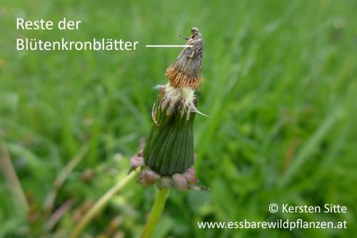 löwenzahn blüte kronblätter © Kersten Sitte, www.essbarewildpflanzen.at