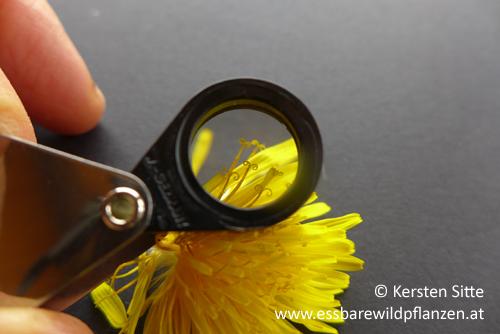 löwenzahn blüte lupe © Kersten Sitte, www.essbarewildpflanzen.at
