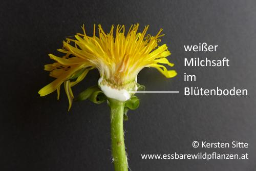 löwenzahn blüte milchsaft © Kersten Sitte, www.essbarewildpflanzen.at