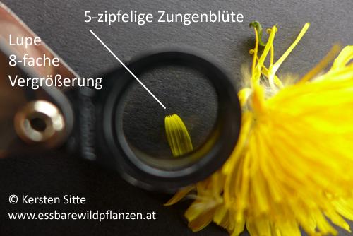 löwenzahn blüte 5 Zipfel © Kersten Sitte, www.essbarewildpflanzen.at