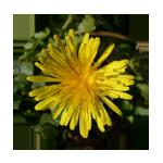 Löwenzahn-Blütenfarbe-Kreis 150 x 150 px © Kersten Sitte, www.essbarewildpflanzen.at