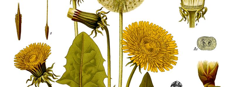 Löwenzahn, Köhler's Medizinal-Pflanzen, Urheber Walther Otto Müller (1833-1887)