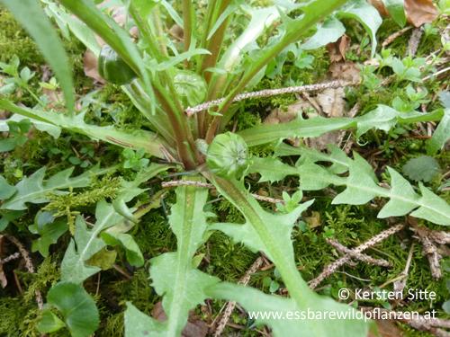 löwenzahn grundrosette © Kersten Sitte, www.essbarewildpflanzen.at