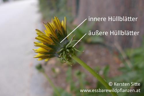 löwenzahn hüllblätter © Kersten Sitte, www.essbarewildpflanzen.at