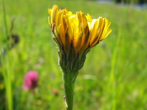 Hypochaeris radicata, Bild von Kristian Peters - Fabelfroh, Wikipedia_Kersten Sitte, www.essbarewildpflanzen.at