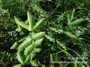 Essbare Wildpflanzen in meinem Garten – 3