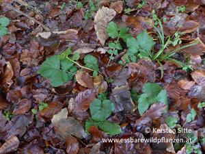 nelkenwurz november 2016 © Kersten Sitte, www.essbarewildpflanzen.at
